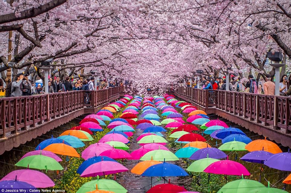 32832B4800000578-0-Gunhangje_Festival_in_Jinhae_South_Korea-a-23_1458814151196
